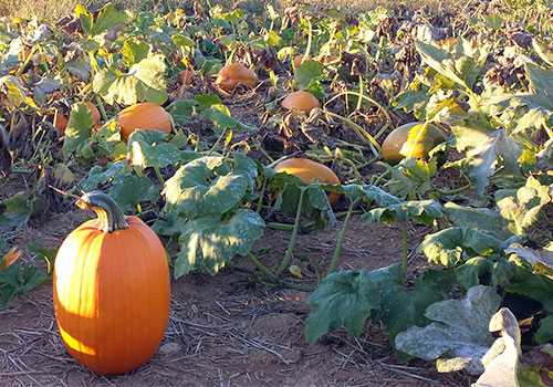 Great selection of pumpkins, gourds, Indian Corn, pick your own apples and peaches, fall decorations at Melick's Town Farm in Oldwick, Califon and Bridgewater, New Jersey.