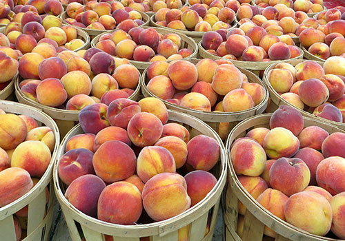 Pick Your Own Peaches and Apples at New Jersey's Largest Peach Orchard-Locally Grown Peaches for Sale at Melick's Town Farm in Oldwick, Califon, & Bridgewater, New Jersey