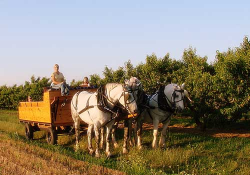 Horsedrawn wagon rides through the peach and apple orchards at Melick's Town Farm in Califon, New Jersey.